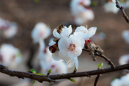 Flowers, Petals, Branch, Tree, Flora, Botany, Apricot