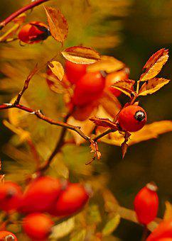 Rose Hip, Autumn, Wild Rose, Nature, Red, Close Up