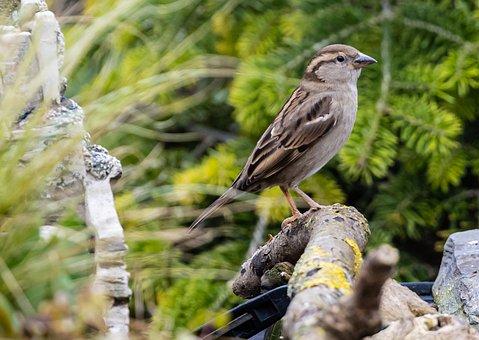 Bird, Sparrow, Hedge Sparrow, Garden Bird, Songbird