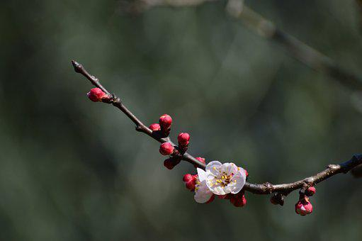 Flower, Branch, Apricot, Blossom, Apricot Blossom