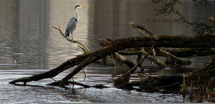 Heron, Bird, Loch, Linlithgow, Branch, Wood, Animal