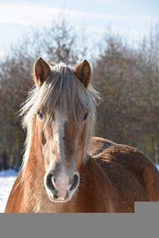 Horse, Head, Brown Horse, Horse Head, Equine, Gelding