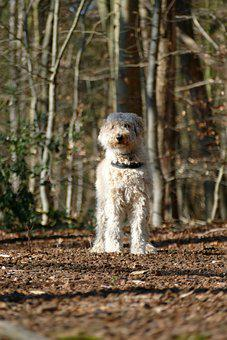 Dog, Labradoodle, Pet, Domestic, Canine, Crossing