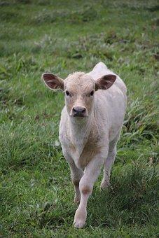 Cow, Calf, Cattle, Animal, Farm, Livestock, Nature