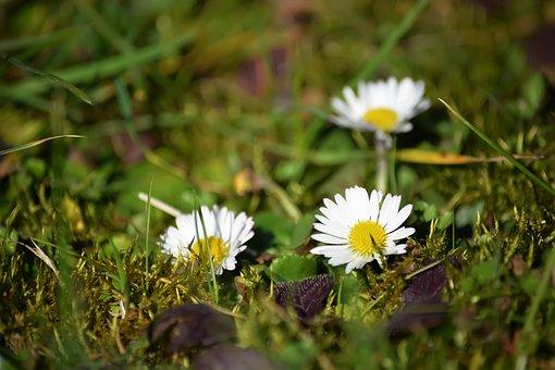 Daisies, Flowers, Plants, Bloom, Blossom, Flora
