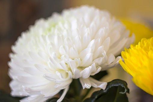 Chrysanthemum, Flowers, Flower, Flora