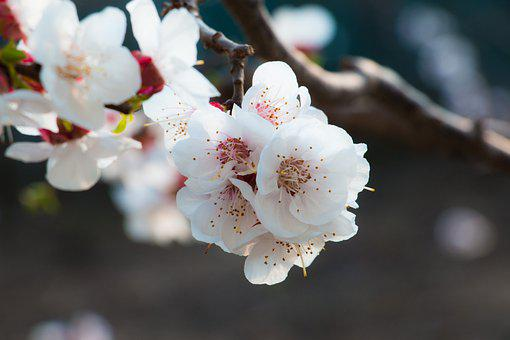 Apricot, Flowers, Spring, Branch, Apricot Blossom