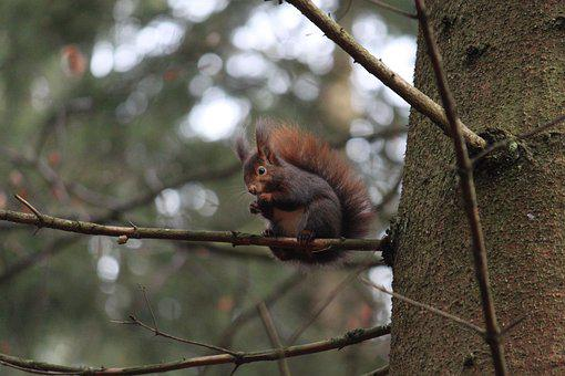 Squirrel, Tree, Branches, Rodent, Foraging, Wildlife