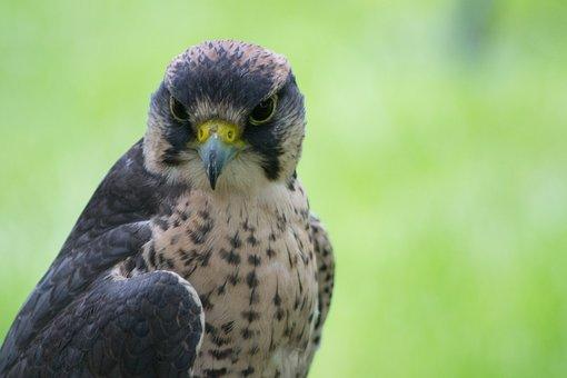 Bird, Hawk, Raptor, Falconry