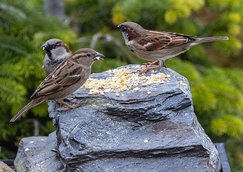 Birds, Sparrows, Hedge Sparrow, Garden Bird, Songbird