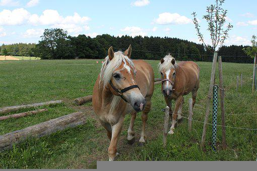 Horses, Bridles, Meadow, Pasture, Equines, Ponies