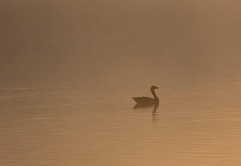 Goose, Lake, Mist, Sunrise, Riverbank, Fog, Haze