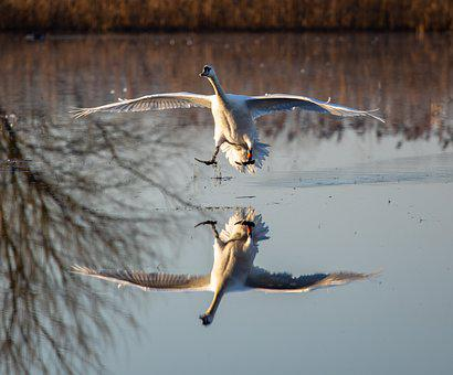 Swan, River, Flying, Reflection, Water, Landing