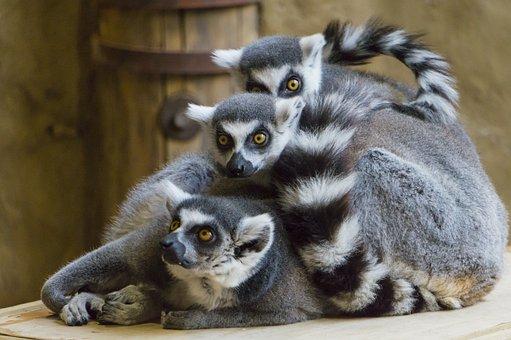 Lemurs, Ring-tailed, Primates, Animals, Animal World