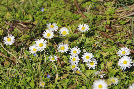 Daisy, Meadow, Flower Meadow, Close Up, Spring