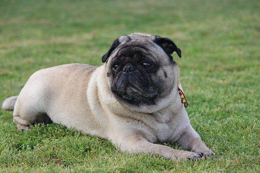 Pug, Dog, Pet, Collar, Dog Collar, Grass, Nature