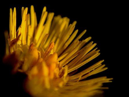 Coltsfoot, Flower, Yellow, Herb, Petals, Yellow Flower