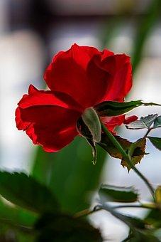 Rose, Flower, Bloom, Blossom, Plant, Red Rose, Petals