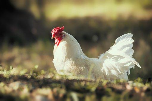 Gallo, Hen, Bird, Chicken, Poultry, Animal, Plumage