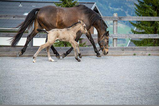 Horse, Pony, Foal, Young, Animal, Mare, Horse Breed