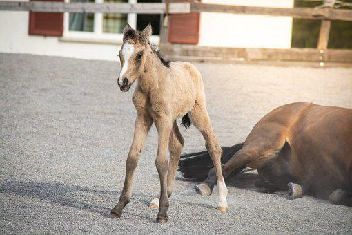 Horse, Foal, Pony, Young, Animal, Mare, Horse Breed