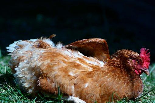 Motivation, Chicken, Freedom, Pursuit, Feather