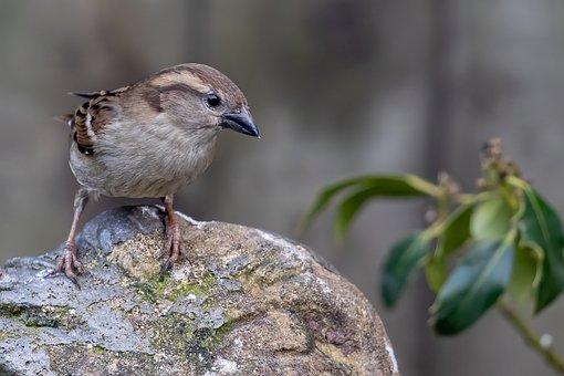 Sparrow, Bird, Perched, Rock, Hedge Sparrow