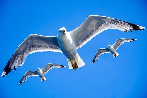 Seagull, Sky, Formation, Freedom, Animal, Sea, Nature