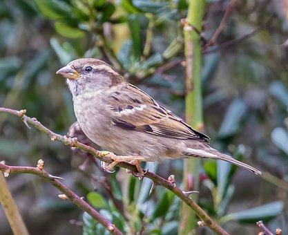Sparrow, Bird, Branch, Perched, Hedge Sparrow