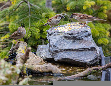 Sparrow, Birds, Feed, Rock, Perched, Foraging, Food