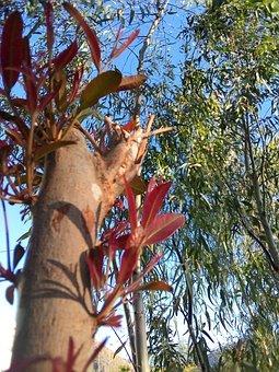 Eucalyptus, Plant, Sprouting, Fresh Leaves, Sky
