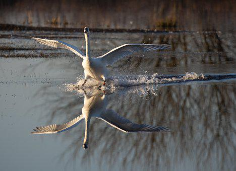 Swan, Bird, River, Wings, Landing, Sunrise, Riverbank