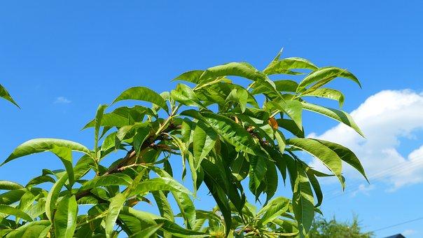 Peach, Tree, Foliage, Sky, Spring, Flower, Nature