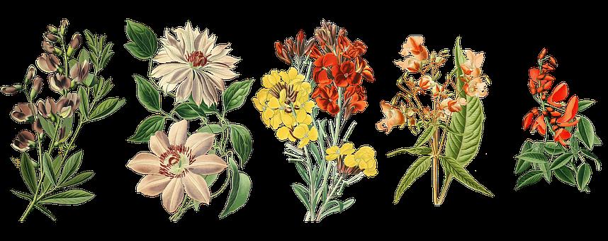 Flowers, Garden Plants, Vintage, Cockspur Corals