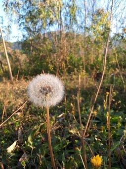 Dandelions, Leontodon Taraxacun, Weed Plant