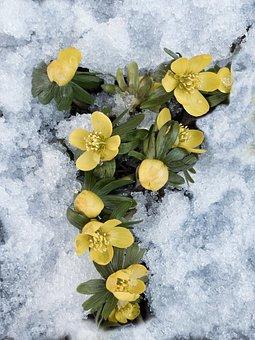Yellow Flower, Winter Flower, Winter Aconite