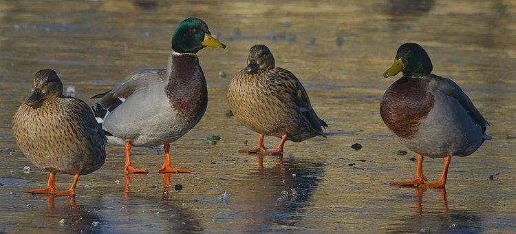 Duck, Ice, Drake, Competitor, Winter, Nature