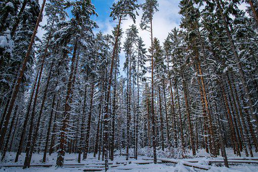 Trees, Forest, Winter, Snow, Snow Forest, Winter Forest