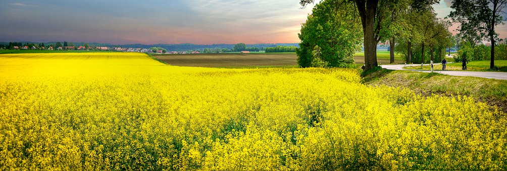 Rapeseeds, Flowers, Field, Yellow Flowers, Agriculture