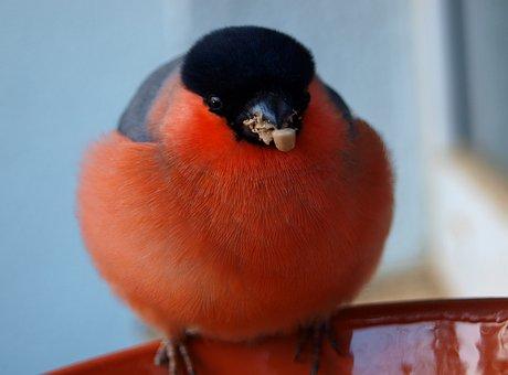Gimpel, Bullfinch, Bird, Songbird, Animal, Nature