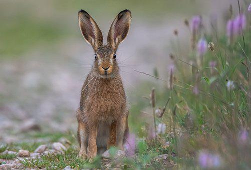 Hare, Field, Animal, Wild Animal, Mammal, Animal World