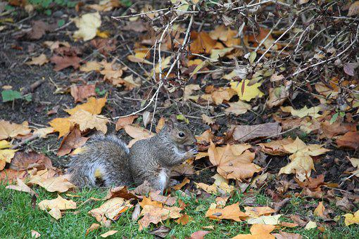 Squirrel, Autumn, Leaves, Rodent, Foraging, Eating