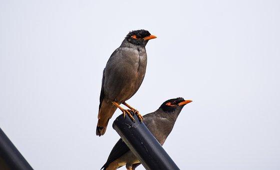 Indian Mynas, Pair, Common Mynas, Beaks, Feathers