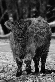 Highland Cow, Cow, Monochrome, Calf, Cattle, Beef