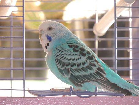 Budgerigar, Bird, Cage, Wavy Parrot, Animal, Pet