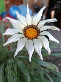 Flor, Blanca, Gazania, Naturaleza, Macro