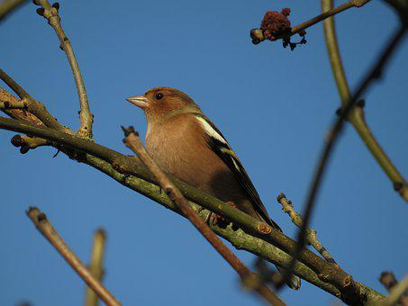 Bird, Common Chaffinch, Branches, Perched, Perched Bird