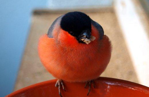 Gimpel, Bird, Bullfinch, Animal, Nature, Male, Songbird