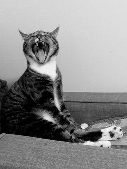 Cat, Scream, Animal, Pet, Fur, Mammal, Laugh, Funny
