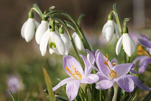 Snowdrops, Crocus, Flowers, White Flowers